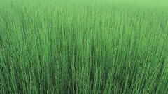 Vivid Green Field Of Reeds Stock Footage