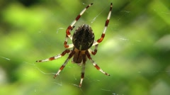 The big and beautiful spider, basks in the morning summer sun Stock Footage