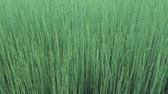 Horsetail Reed Field Stock Footage