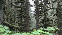 Alaska Sitka Spruce Mossy Trees Stock Footage
