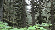 Stock Video Footage of Alaska Sitka Spruce Mossy Trees