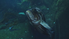 Ugly Floating Fish in Aquarium Stock Footage