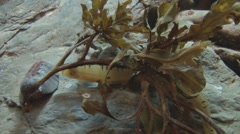 Tiny Eel in Seaweed on a Rock Stock Footage