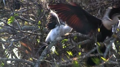 Birds of the mangrove forest pin the Everglades. Stock Footage