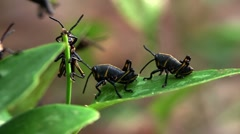 Black insects eat a green leaf. Stock Footage