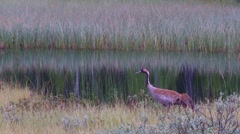 Common crane Stock Footage