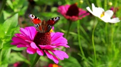 A Butterfly Landing On Flower - stock footage