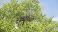 Stock Video Footage of Nest of dry twigs on top of an almond tree