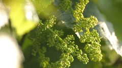 3 IN 1 EDIT Close-up of unripe young grape under direct sunlight - stock footage