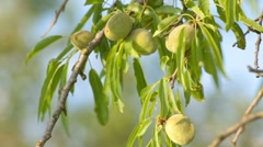 Stock Video Footage of Wind rustling almond leaves with unripe almonds on branches