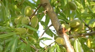 Elongated almond leaves and fruitage moving on wind Stock Footage
