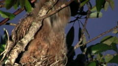 A great horned owl peers from the branches of a tree at night. Stock Footage