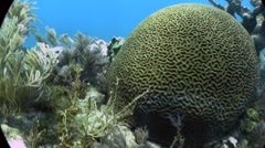 Underwater shot of beautiful green brain coral. Stock Footage
