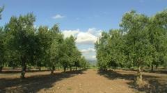 Olive tree farm garden Stock Footage