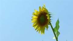 Sunflower one piece Stock Footage