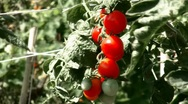 Tomato raw material root Stock Footage