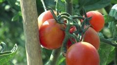 Tomato garden Stock Footage