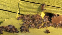 Bee swarm at hive, Apis mellifera Stock Footage