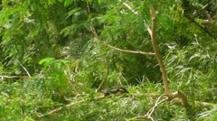 Hurricane Irene Aftermath - Iguana resting on fallen tree under first sun rays - stock footage