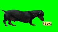 Stock Video Footage of Balck dog eat from dog's plate