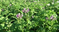 The potato blossoms, in a month harvesting Stock Footage