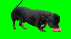 Black dog (dachshund) eats from cat's plate Stock Footage