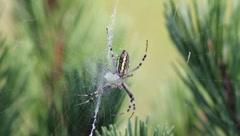 Wasp Spider, Argiope bruennichi Stock Footage