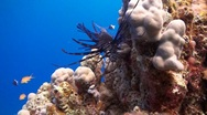 Stock Video Footage of Lionfish swimming next to a coral reef