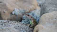 Green Lizard on the rocks, Lacerta viridis Stock Footage