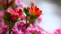Red and pink kalanchoe. Stock Footage