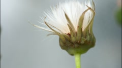 Dandelion. Stock Footage