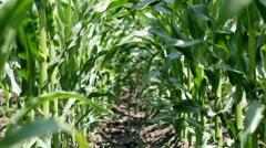 Summer Corn Crop Stock Footage