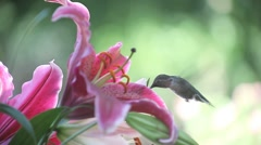 Hummingbird with stargazer lilies Stock Footage