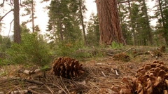 Pine Cones on Forest Floor Stock Footage