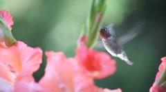 Gladiolis with hummingbird Stock Footage