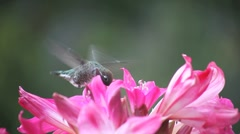 Hummingbird close-up in lilies Stock Footage