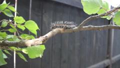 Big hairy caterpillar walking on a tree, Macrothylacia rubi Stock Footage
