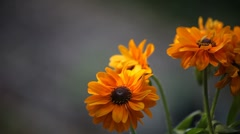 Black-eyed susan flowers Stock Footage