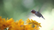 Stock Video Footage of hummingbird in rudbeckia flowers