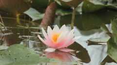Waterlily Stock Footage
