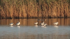 Pied avocets resting in the water / Recurvirostra avosetta Stock Footage