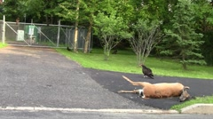 Dead deer and vultures Stock Footage