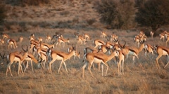 Springbok antelope herd, African wildlife safari, Kalahari desert, South Africa Stock Footage
