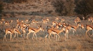 Stock Video Footage of Springbok antelope herd