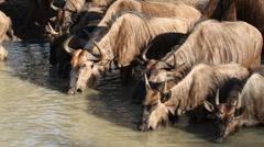 Wildebeest at the waterhole - stock footage