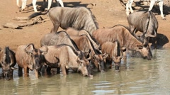 Wildebeest at the waterhole Stock Footage