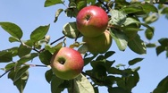 Stock Video Footage of Picking apple from tree