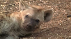 Stretching spotted Hyena Stock Footage