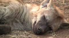 Resting spotted Hyena Stock Footage