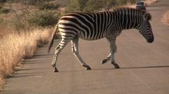 Zebra walks on road Stock Footage